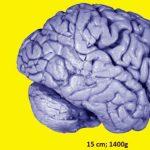 Demostrada la existencia de células madre en el cerebro que permiten la generación de neuronas durante toda la vida